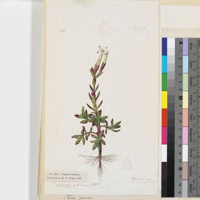 Crassula jasminea original illustration from Curtis's Botanical Magazine