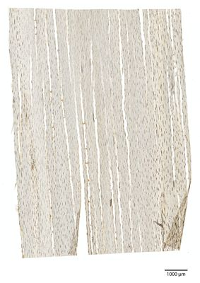 A specimen from Kew's microscope slide collection - tangential longitudinal section of wood. Image ref: KMIC000781_2016_11_09-S2