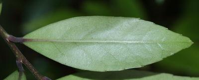 Ilex denticulata