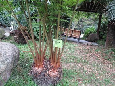 Cycas debaoensis