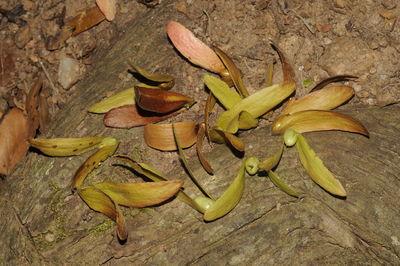 Hopea parviflora