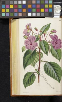 Impatiens flaccida, Fitch