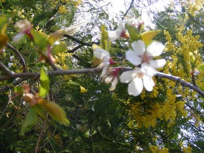 Prunus Hillieri Group 'Hilling's Weeping'