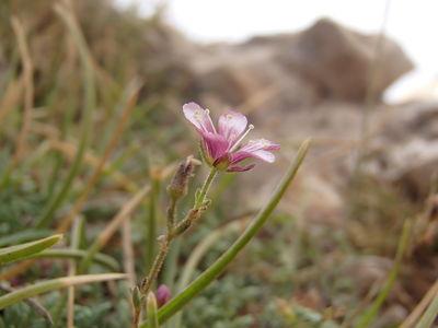 Cherleria rupestris (Labill.) A.J.Moore & Dillenb.