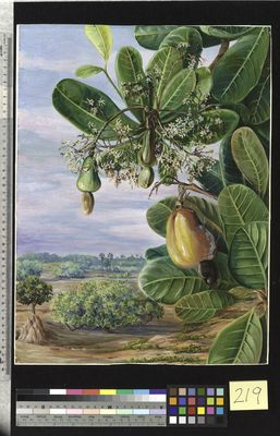 Foliage, Flowers and Fruit of the Cashew, Tanjore, India, North, Marianne.
