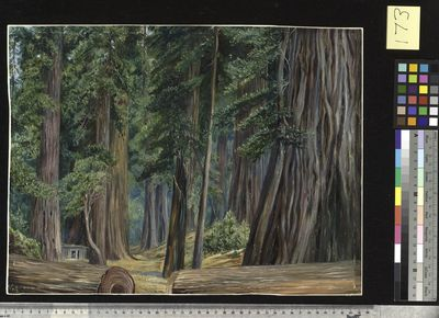 173. Under the Redwood Trees at Goerneville, California.