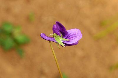 Viola philippica