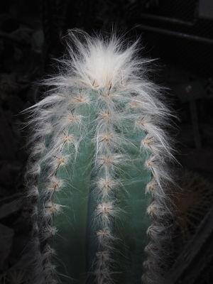 Pilosocereus leucocephalus