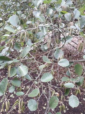 Alnus inokumae