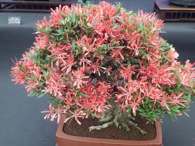 Rhododendron indicum 'Kinsai'