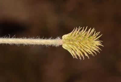 Ranunculus damascenus