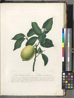 Citrus medica, Limon, 'Limone di giardino'