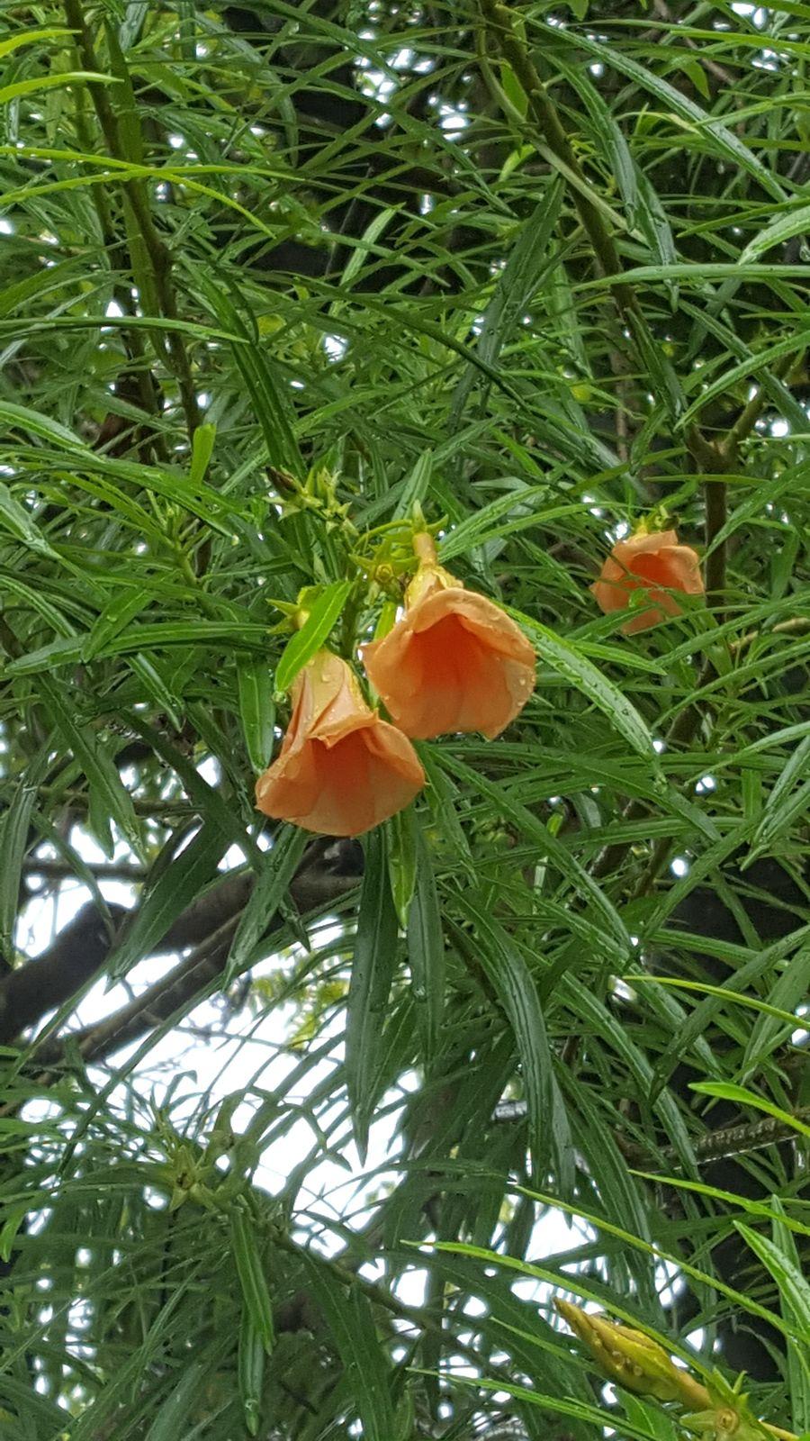 Cascabela Thevetia (L.) Lippold
