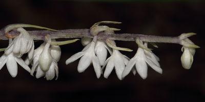 Ophiopogon intermedius