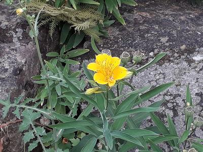 Alstroemeria aurea