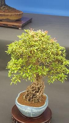 Rhododendron indicum 'Chinsai'