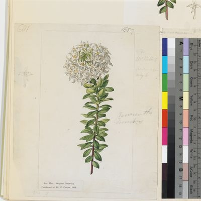 Lachnaea buxifolia, watercolour drawing for Curtis's Botanical Magazine, published as Lachneaea buxifolia (oe) virens