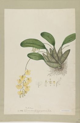 Dendrobium aggregatum Roxb., watercolour on paper