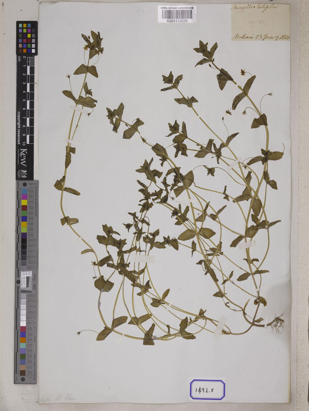 A specimen from Kew's Herbarium - <a href='http://specimens.kew.org/herbarium/K001113226' target='_blank' rel='nofollow'>K001113226</a><small><a href='/taxon/urn:lsid:ipni.org:names:329604-2'><em lang='la'>Anagallis arvensis</em></a> | Herbarium, RBG Kew</small>