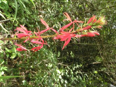 Lobelia cardinalis L.