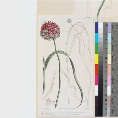 Allium ampeloprasum, published illustration from Curtis's Botanical Magazine