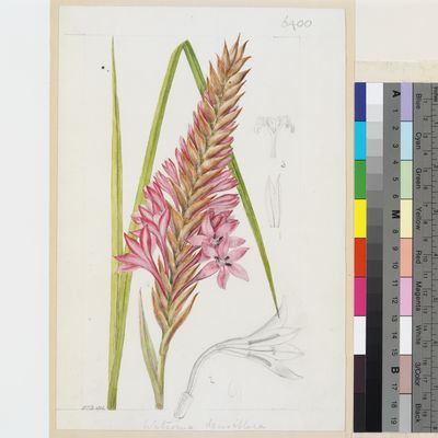 Watsonia densiflora Baker original illustration from Curtis's Botanical Magazine