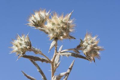 Echinops acantholepis