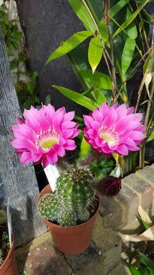 Echinopsis Schick Group 'Romance'