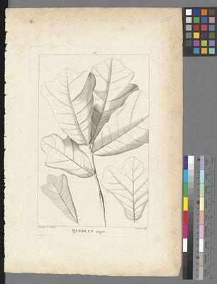 Quercus nigra, uncoloured engraving on paper