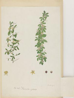 Flacourtia sepiaria Willd., watercolour on paper