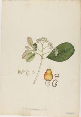 Anacardium occidentale Willd., watercolour on paper