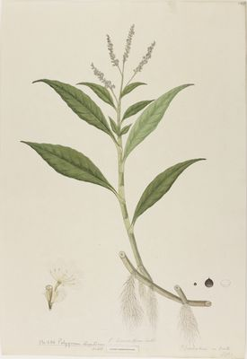 Polygonum tomentosum Willd., watercolour on paper