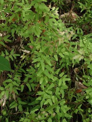Lygodium scandens