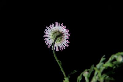 Aphanostephus ramosissimus var. ramosus