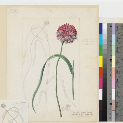 Allium ampeloprasum, original illustration from Curtis's Botanical Magazine