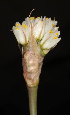Allium papillare