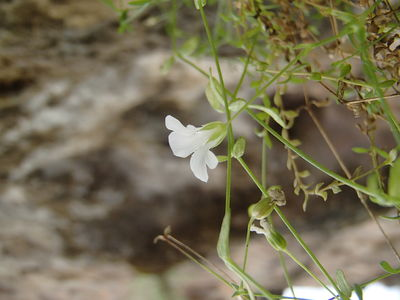 Arenaria libanotica Kotschy