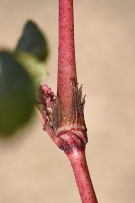 Persicaria lapathifolia