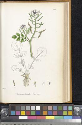 Nasturtium officinale (watercress), James Sowerby