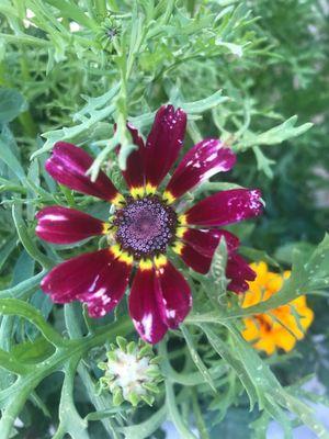 Ismelia carinata