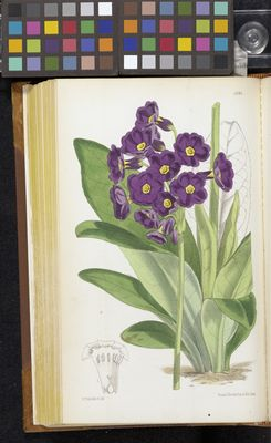Primula parryi by Walter Hood Fitch