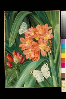 Clivia miniata and Moths, Natal
