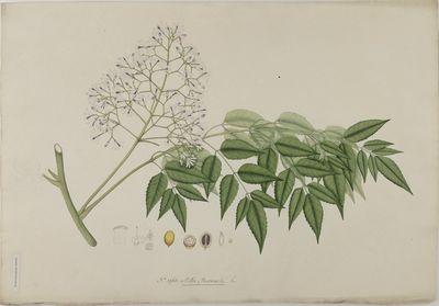 Melia azedarak Willd., watercolour on paper
