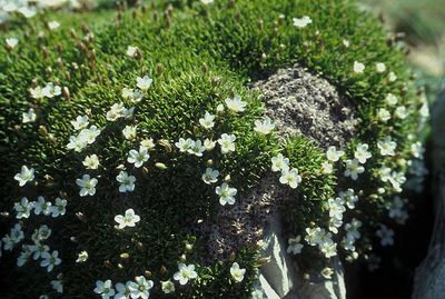 Mcneillia stellata