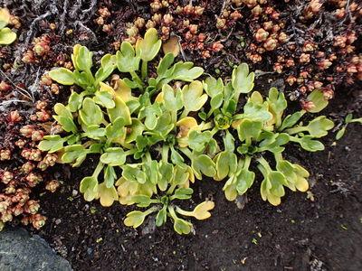 Ranunculus pseudotrullifolius
