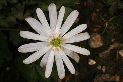 Anemone nemorosa 'Alba'