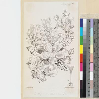 Malope malacoides Willd. published illustration from Curtis's Botanical Magazine