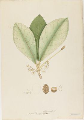 Elaeocarpus tuberculatus R., watercolour on paper