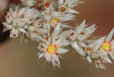 Polycarpaea corymbosa