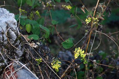 Dumasia villosa